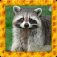 Raccoon Simulator 3D app icon