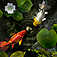 My Fishpond app icon