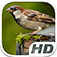 Sparrow Bird Simulator HD Animal Life app icon